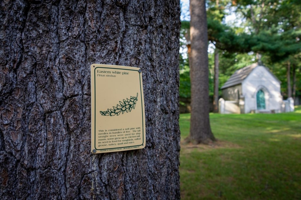 A white pine tree in the north end of Sleepy Hollow Cemetery bears an informational tag describing the characteristics of the species.